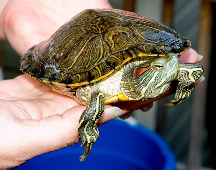 What to feed the red-bellied turtle?