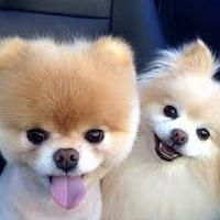 Breed Pomeranian Pomeranian. Reviews of owners and features of dogs