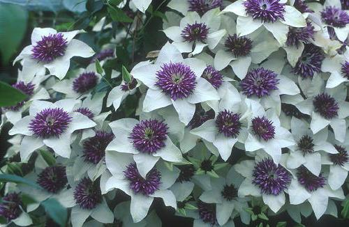 How to plant clematis - King liane