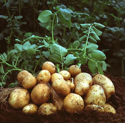 Potato planting dates in the Moscow region