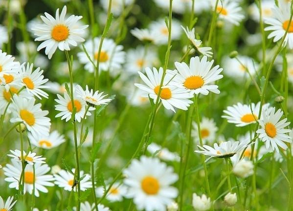 Leucanthemum vulgare - an ordinary chamomile with unusual properties